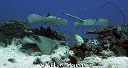 Stingray junction at 'Shotgun', Komodo by Richard Mclean 
